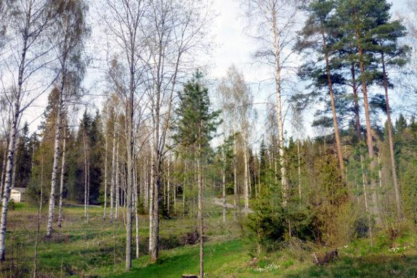 フィンランドは白樺の、あの季節