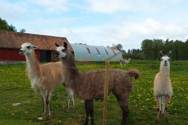 スウェーデンでラマに会った