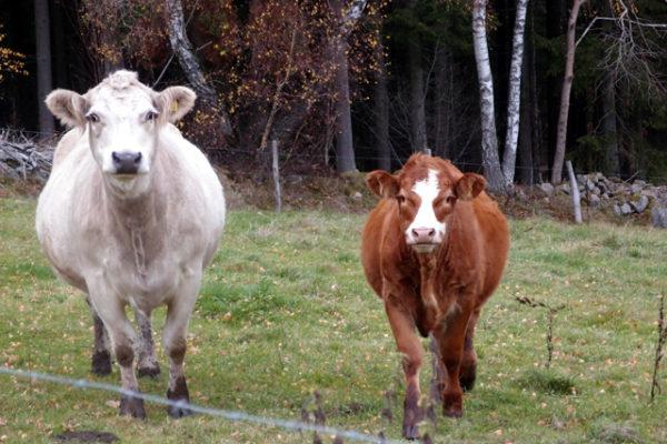 スウェーデンで牛と目が合う